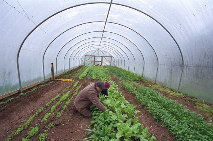 growing lettuce in polytunnel