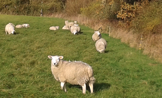 sheep at stockwood farm