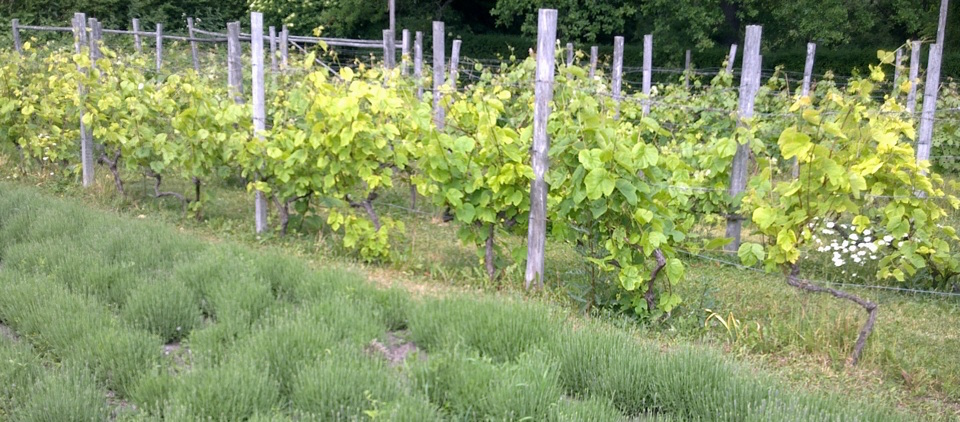 Vines at Rosendal, Stockholm