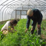 Clare and Stroud Community Agriculture grower Mark Harrison inspecting salads in the polytunnel