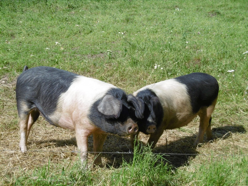 Stroud Community Agriculture pigs