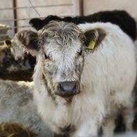 Huxhams Cows