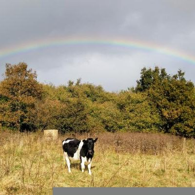 Cow and ranbow at Huxhams Cross Farm