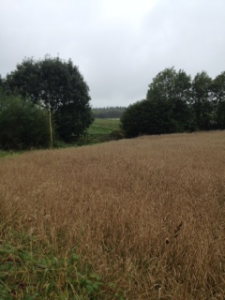 Population wheat on Huxhams Cross Farm