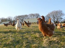 Oakbrook chicks supplied by Organic Pullets co.uk
